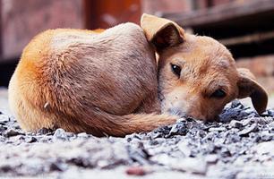 परसाई का मध्यमवर्गीय कुत्ता